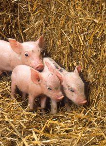 Zasady odpowiedniego kojca porodowego dla świni